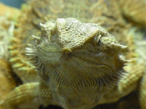 爬虫類 フタアゴヒゲトカゲ