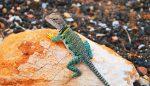 一人暮らしのペットは爬虫類!初心者におすすめの4種